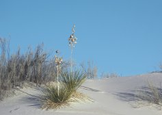 Photo of Yuccas at White Sands National Monument USA